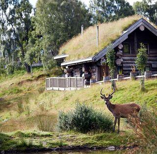 Cervo rosso selvaggio nei pressi di una cabina nelle Highland Scozzesi